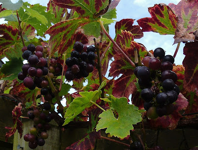 Grapes Grapevine garden review of 2017 Green Fingered Blog