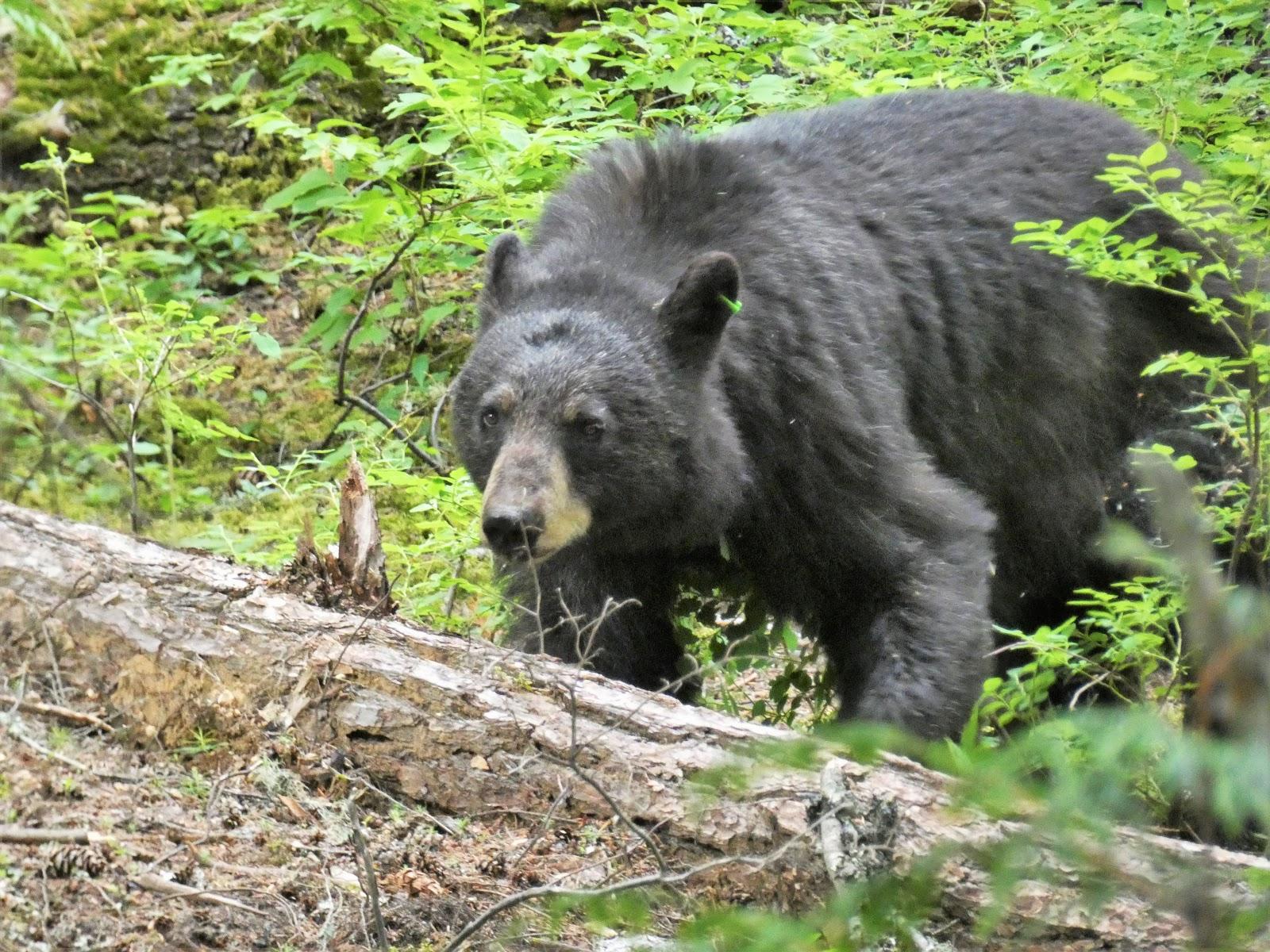 Mature bear blogs