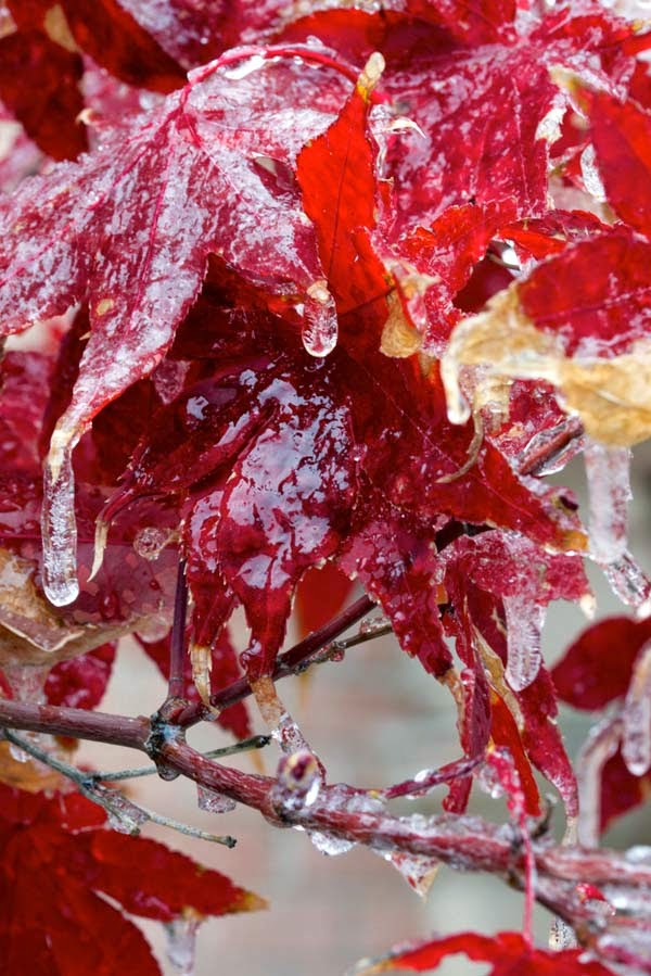 What Happens When An Ice Storm Hits While Flowers Are Still Blooming? Gorgeousness.