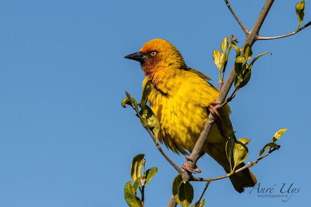 Cape Weaver on a branch