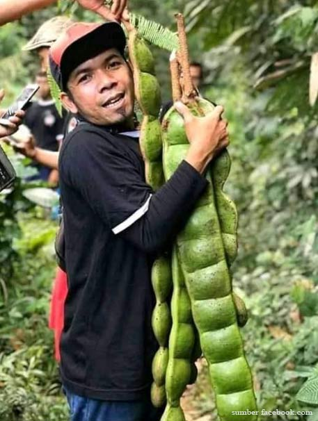 Heboh 'Petai' Raksasa dari Banjarnegara