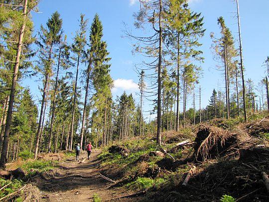 Zniszczony przez wichurę las przed Jaworzynami Ochotnickimi.