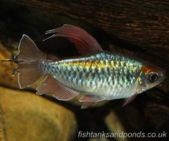Congo Tetra Fish, Phenacogrammus interruptus