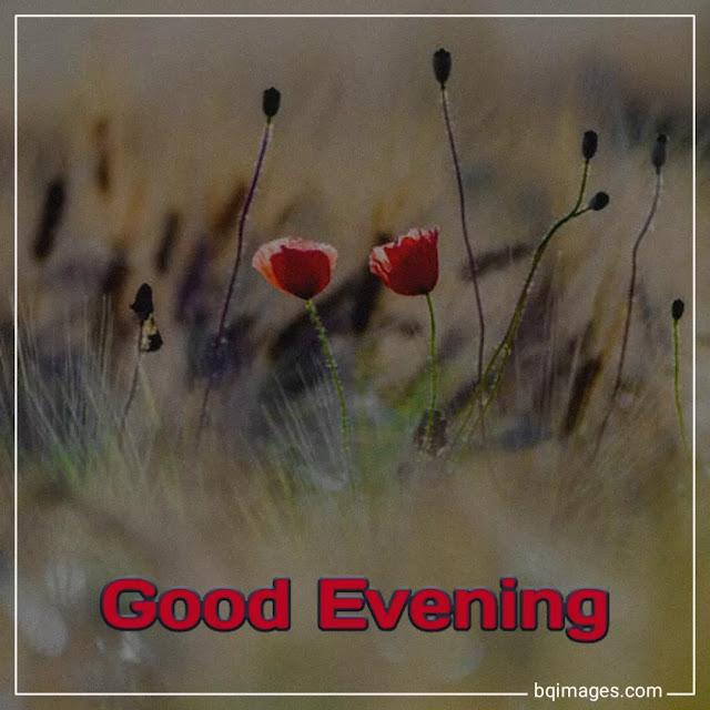 good evening rose flower