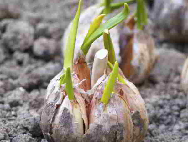 how deep to plant garlic