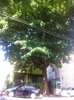 Mais uma árvore no Parque Cruz Aguiar preocupa os moradores