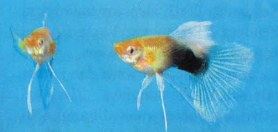 Yellow Tuxedo Ribbon Guppy