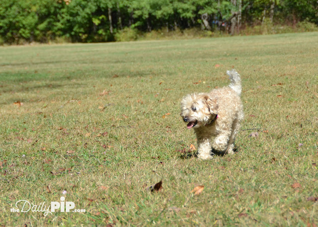 Floppy dog running sideways in a field in the FPCC