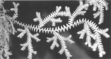 Selaginella sp