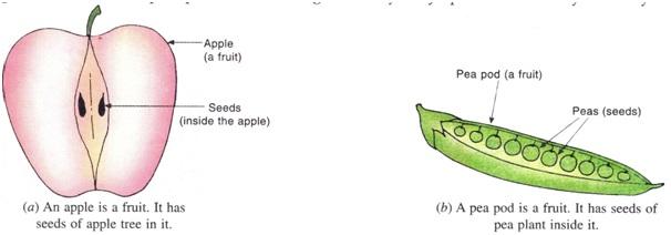 फल अपने भीतर पौधे के बीज रखता है।