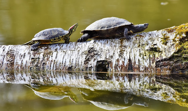 Image: Turtles on a Log, by Ralph/Capri23auto on Pixabay