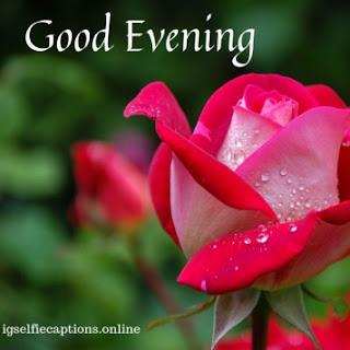 good evening roses love