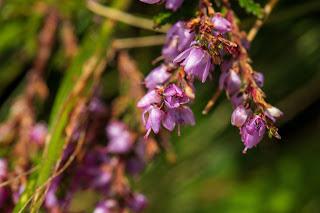 [Ericaceae] Calluna vulgaris – Heather (Calluna comune, brugo)