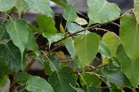 Peepal Tree Uses, Benefits, Importance - Peepal Tree