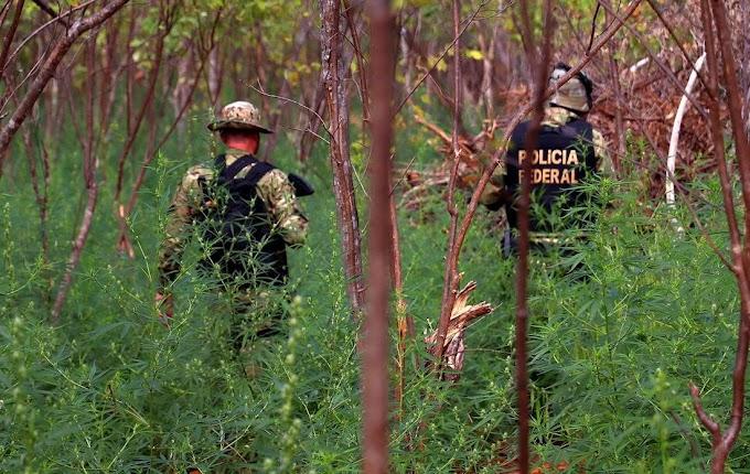Polícia Federal erradica 58 mil pés de maconha no Sertão de Pernambuco