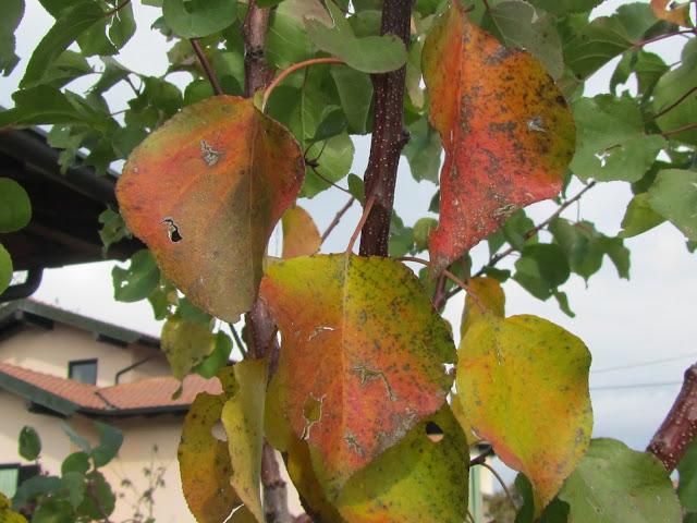 Foglie albicocco in autunno