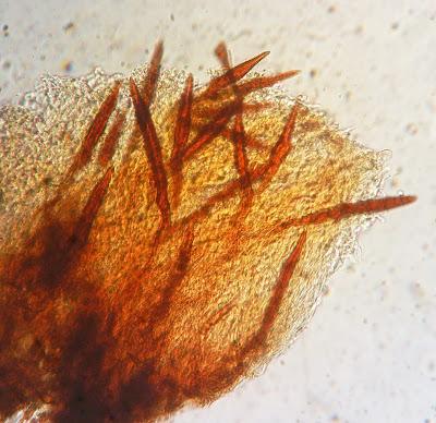 setae hairs Inonotus glomeratus