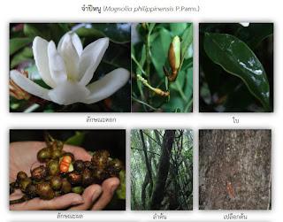 จำปีหนู จำปีพื้นเมืองของไทย ดอกสีขาว ดอกเล็กน่ารักสวยงาม ดอกมีกลิ่นหอม