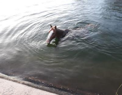 Em Delmiro Gouveia, bombeiros são acionados para resgatarem  cavalos que caíram no Canal do Sertão