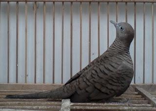 Mengenal Jenis Dari Burung Perkutut Hitam Lebih Dekat