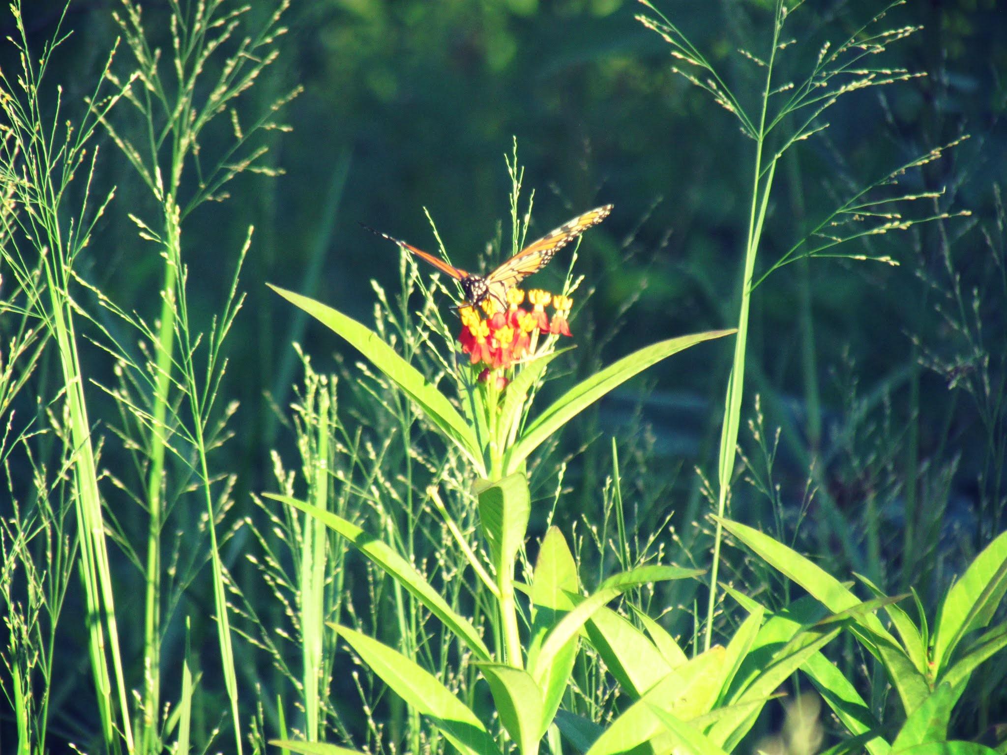 Where the butterflies roam wild and free in Hammock Park Butterfly Garden in Dunedin, Florida