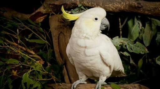 Ciri ciri Burung Kakak Tua
