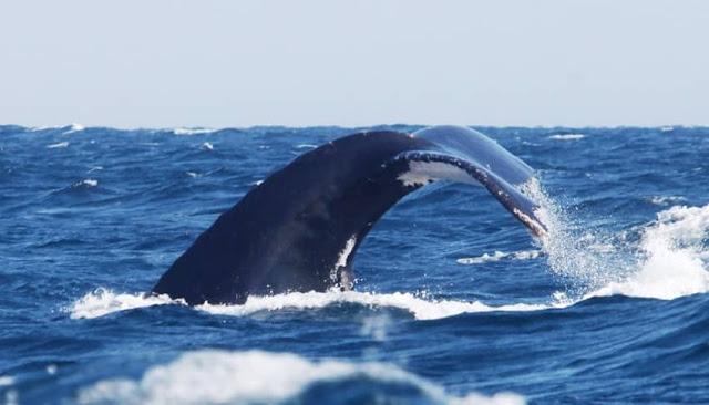 Avistamiento de Ballenas de Sudamérica