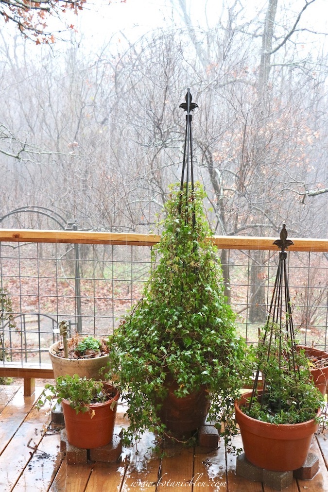 Outdoor Ivy Topiary Growing Tips