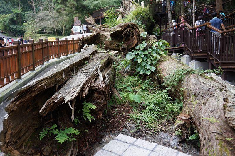 溪頭神木尾端寄生植物