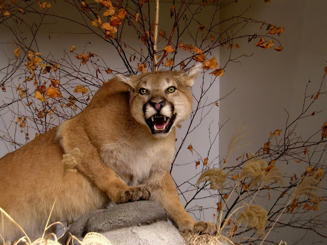 Cougar facts and information 3