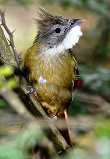 Tips Perawatan Burung Cucak Jenggot -  Karaker Dasar Burung Cucak Jenggot