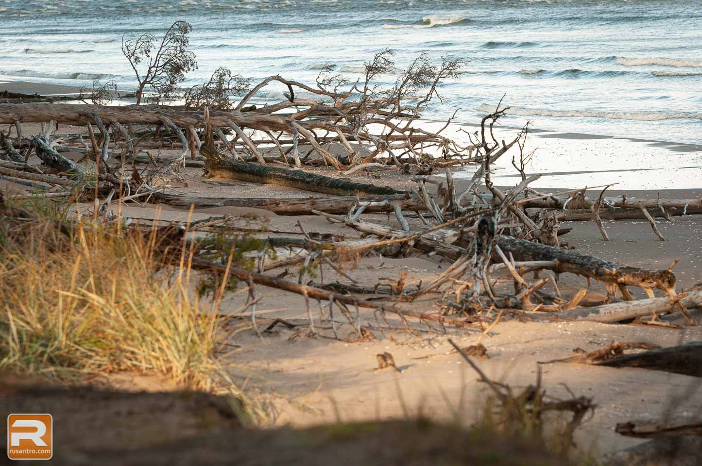 Jūras noskaloti un nogāztie koki