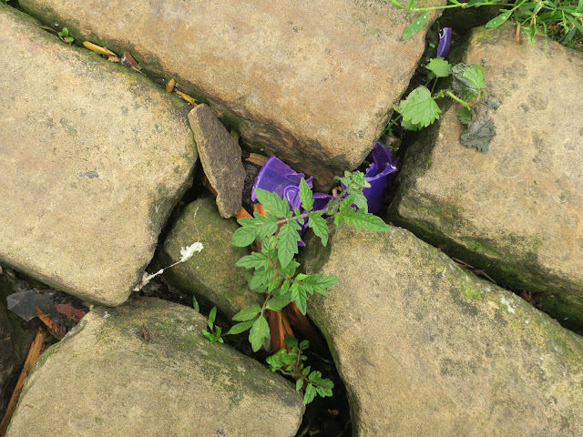 Tomato plant growing through cobbles in street. Halifax, England. June 27th 2020.