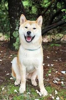 كلب اكيتا