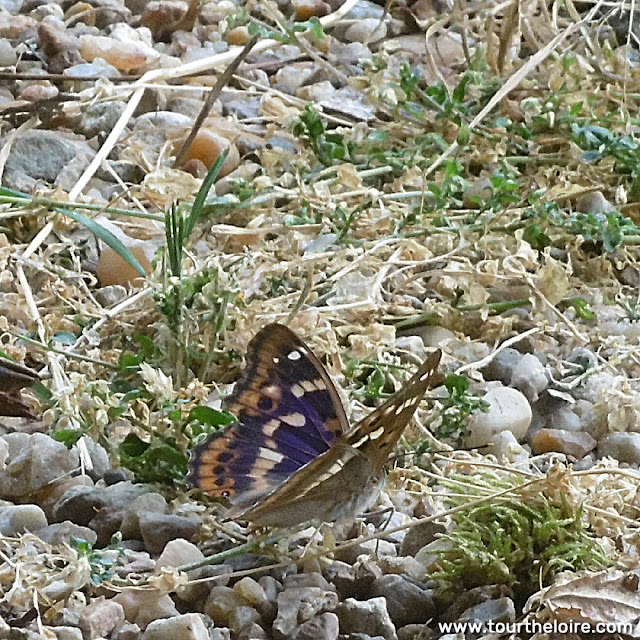 Lesser Purple Emperor Apatura ilia. Indre et Loire, France. Photographed by Susan Walter. Tour the Loire Valley with a classic car and a private guide.