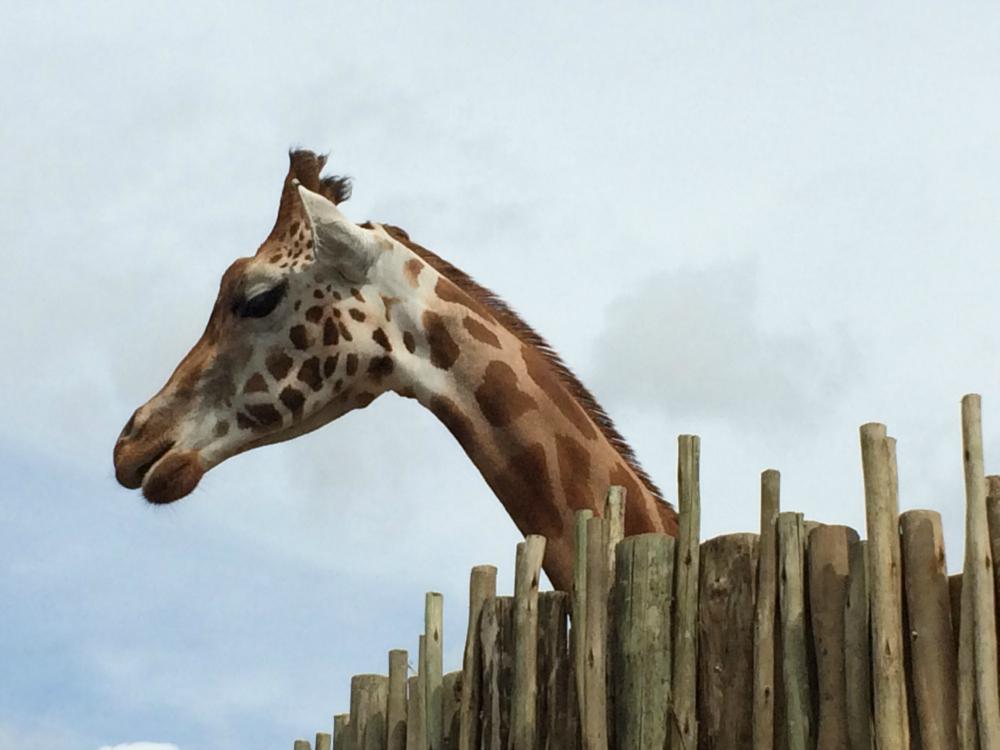 Marwell Zoo Giraffe