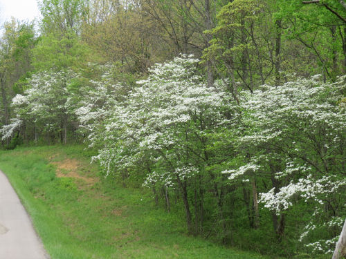 dogwood lining road