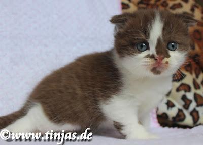 Tinjas Katzenzucht Scottish Fold