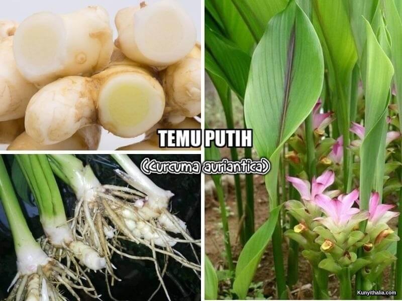 TEMU PUTIH (Curcuma auriantica)