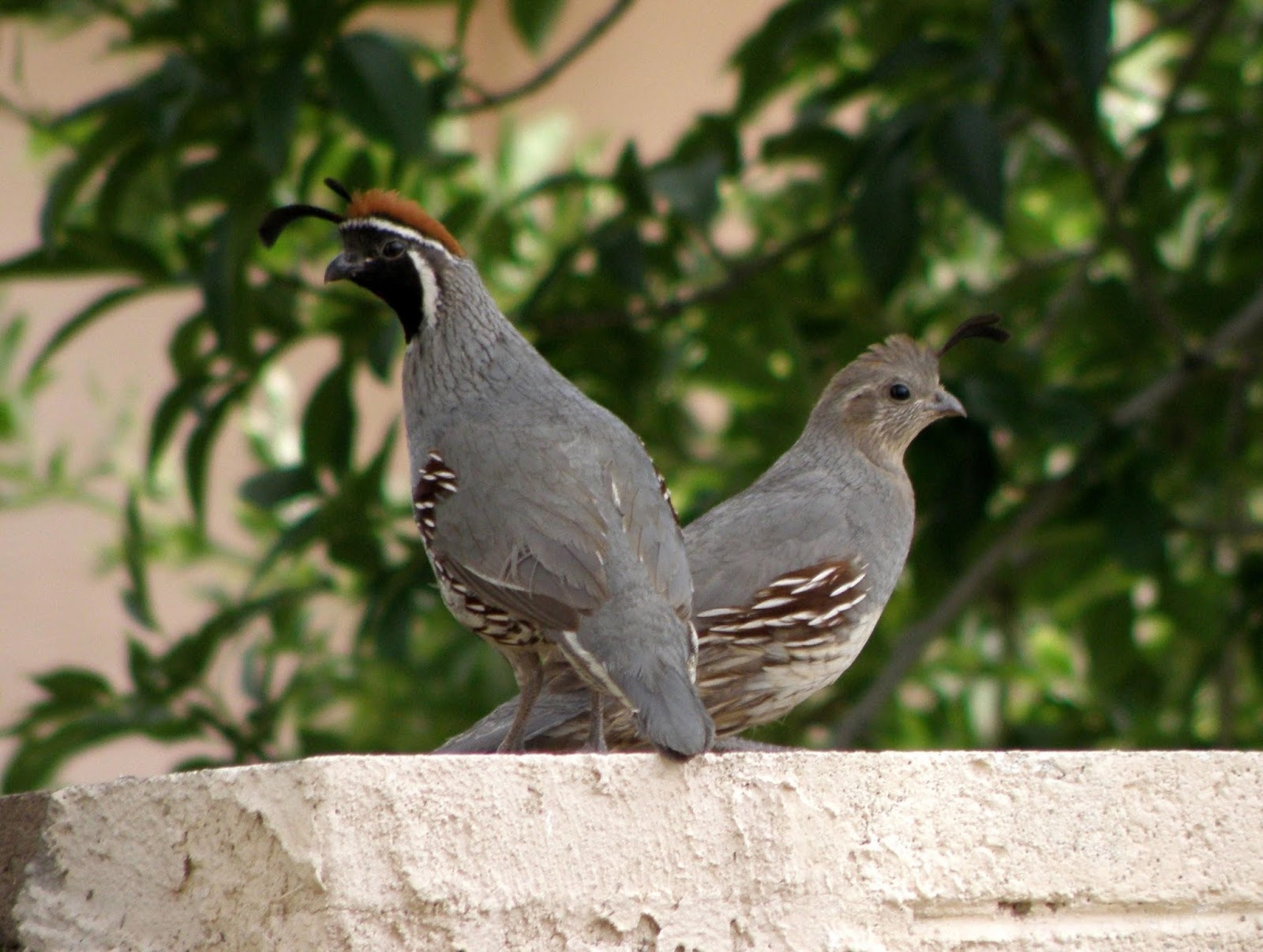 male and female gambel s quail are sexually dimorphic and have somewhat different appearances photo by kevin bondelli