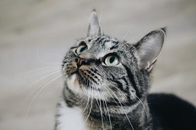 gatos maullan