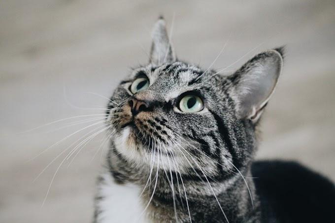¿Por qué maúlla mi gato?