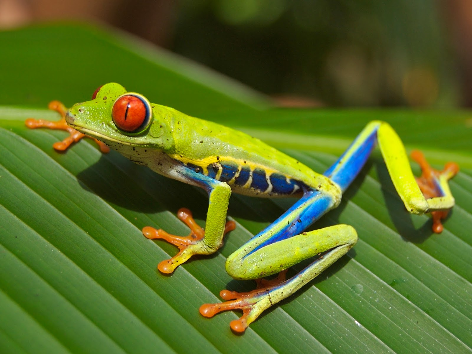 Amphibians: Red eyed tree frog