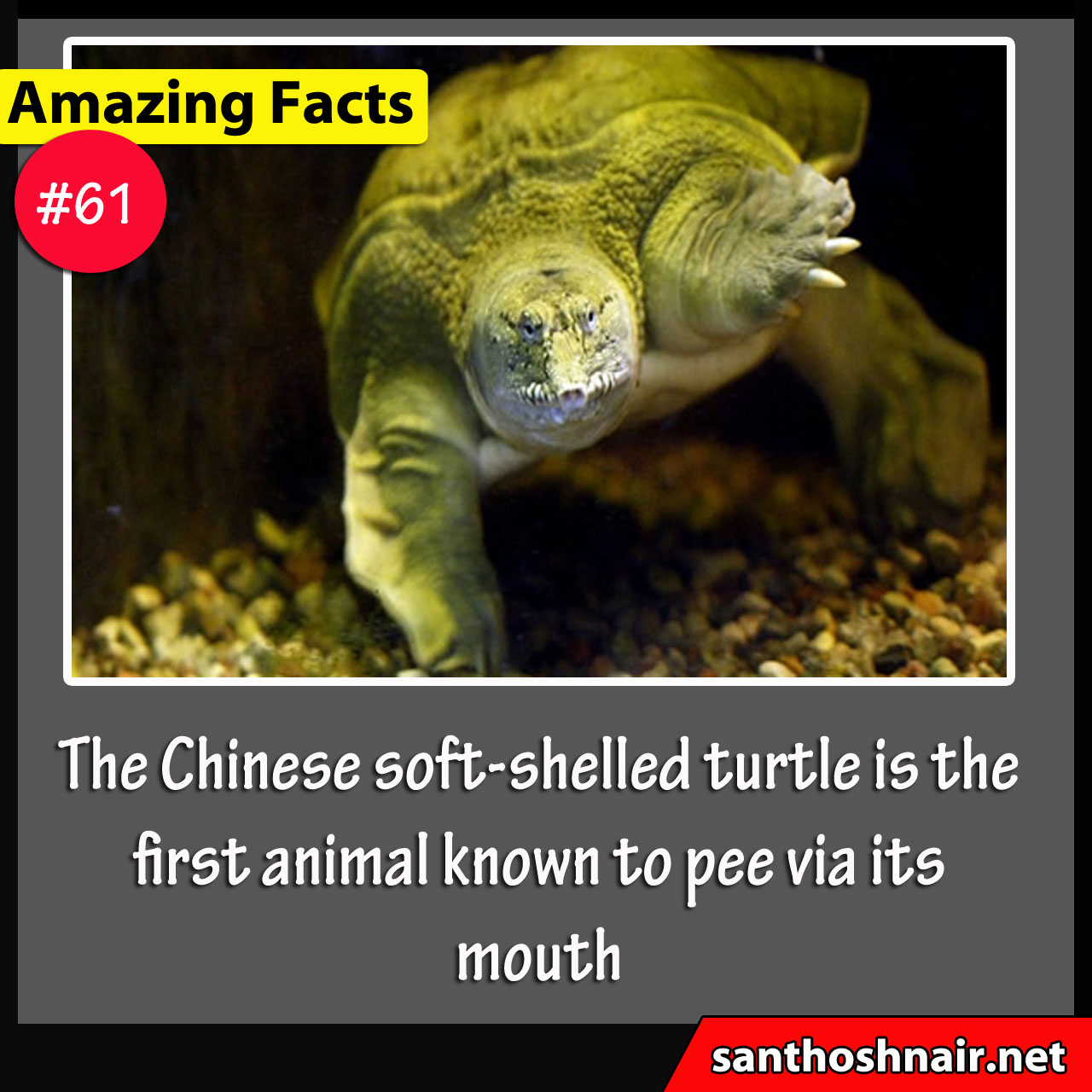 Amazing Facts #61 - Chinese soft-shelled turtle