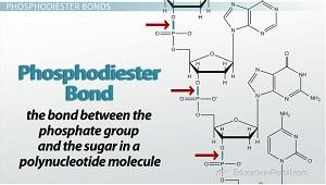DNA (Pengertian, Struktur, Fungsi, Sifat, Replikasi)