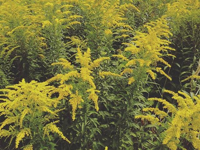 Nawłoć- żółte dobroci z końca lata