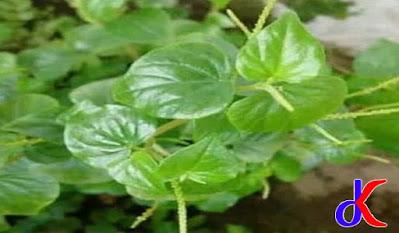 Tumbuhan Suruhan - Obat herbal dan Manfaat lainnya | Bagian 1