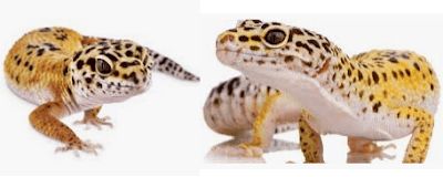 Cool Facts About Leopard Geckos