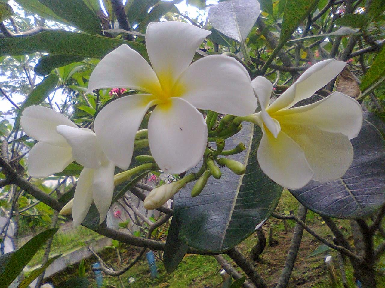 Kapurinjing: Bunga Kamboja Putih