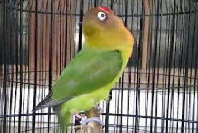Tips semoga burung lovebrid aktif dan ngekek panjang